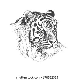 Face of calm tiger.Hand drawn vector illustration