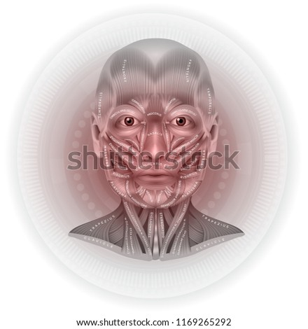 Face Neck Muscles Detailed Anatomy Beautiful Stock Vector (Royalty ...