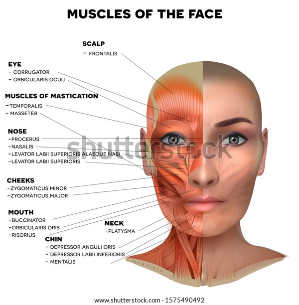 under chin muscle diagram facial neck muscles female half face stock vector  royalty free  facial neck muscles female half face