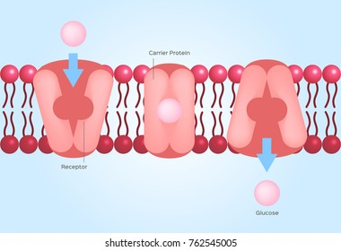 Facilitated diffusion or facilitated transport / cell anatomy