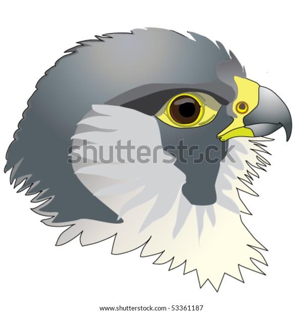 Falcon. Peregrine falcon, head.