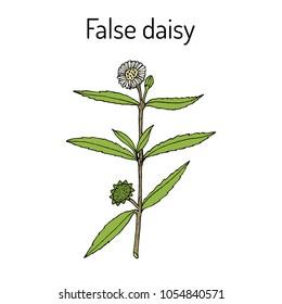 False daisy (Eclipta prostrata, alba), or yerba de tago, karisilanganni, bhringraj, medicinal plant. Hand drawn vector botanical illustration