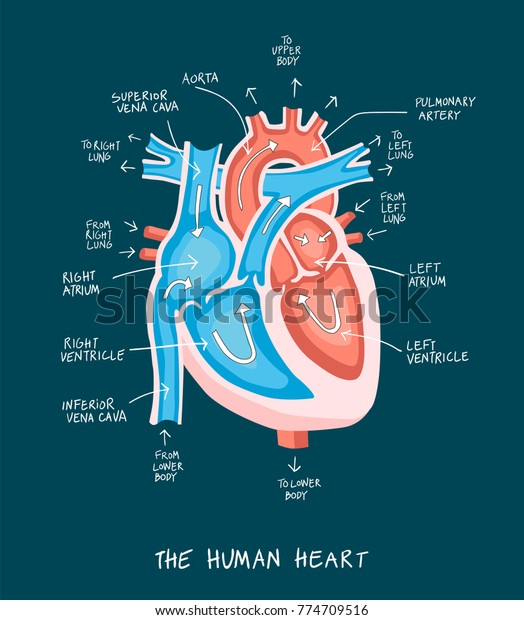 Falt Style Illustration Human Heart Anatomy Stock Vector