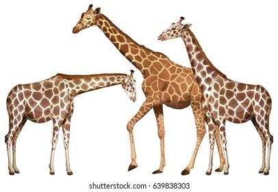 Family of giraffes on white