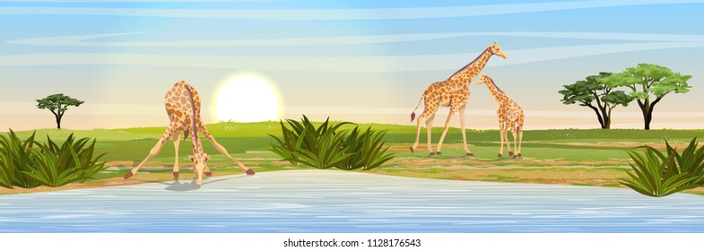 Family of giraffes at the watering place. Adult giraffes mother and young giraffe child. African savannah. Coast of a large lake. Realistic vector landscape. The nature of Africa