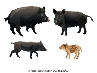 A family of wild pigs. Vector illustration isolated on white background