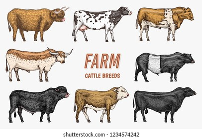 Farm cattle bulls and cows. Different breeds of domestic animals. Engraved hand drawn monochrome sketch. Vintage line art.