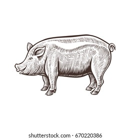 Farm pig animal sketch, isolated pork on the white background. Vintage style. Vector illustration.