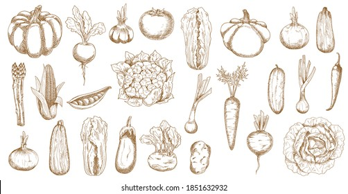 Farm veggies, greenery and vegetables sketch. Pumpkin, asparagus and onion, zucchini, corn and beetroot, pea, eggplant and cauliflower, garlic, tomato and kohlrabi, pattypan squash, cabbage vector