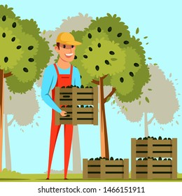 Farmer harvesting olives flat vector illustration. Male farm worker holding wooden boxes with black olives cartoon character. Cheerful gardener picking ripe Olea europaea berries in containers