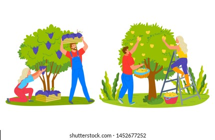 Farmers man and woman picking fruits, grapes in case, apples in basket. Harvesting products, people farming, female on stairs, green tree and bush vector