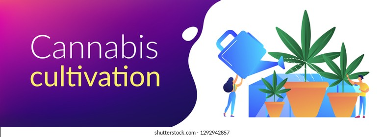 Farmers with watering can growing cannabis in pots. Cannabis cultivation, CBD cultivation business, sungrown indoors or greenhouse concept. Header or footer banner template with copy space.