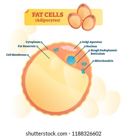 Fat cell structure vector illustration. Labeled anatomical adipocytes scheme. Cytoplasm, reservoir, golgi apparatus and endoplasmic reticulum educational diagram.