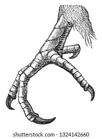 Feet of the cuckoo, vintage engraved illustration. From Deutch Vogel Teaching in Zoology.