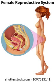 A Female Anatomy of Reproductive System illustration