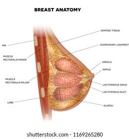 Female Breast anatomy detailed colorful illustration with info text