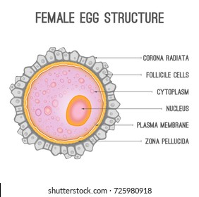 Female egg structure with cytoplasm, nucleus and corona radiata. Vector illustration isolated on white background useful for education in schools and clinics. Healthcare, anatomy and biology concept.