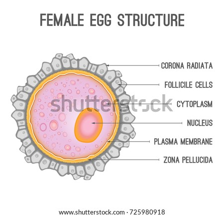 Female Egg Structure Cytoplasm Nucleus Corona Stock Vector Royalty