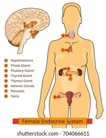 Female endocrine system. Human anatomy. Human silhouette with detailed internal organs. Vector illustration isolated on a white background.