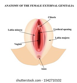 Female external genitalia. Anatomical structure of the vulva, vagina, clitoris. Infographics. Vector illustration on isolated background.