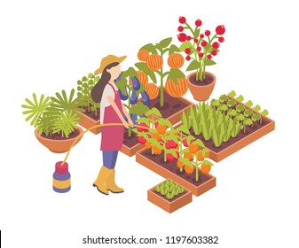 Female gardener or farmer watering crops growing in boxes or planters isolated on white background. Agriculture worker with hosepipe cultivating vegetables. Colored isometric vector illustration.