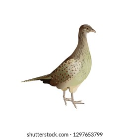 Female (hen) ring-necked pheasant. Side view. Vector illustration isolated on white background