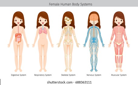 Male Human Anatomy Body Systems Physiology Stock Vector (Royalty ...
