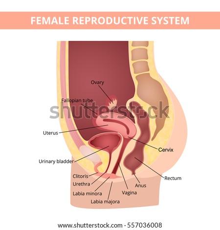 Internal Genitalia Female Reproductive Organs Diagram - Product ...