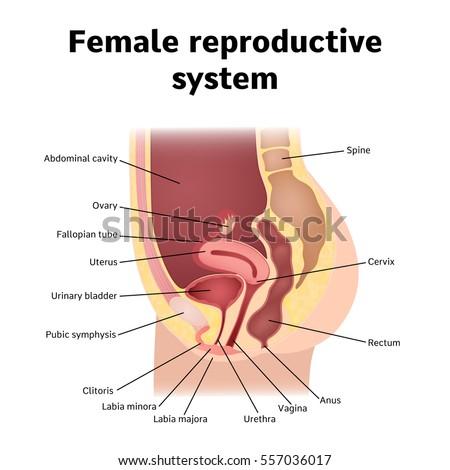 internal genital organs of female