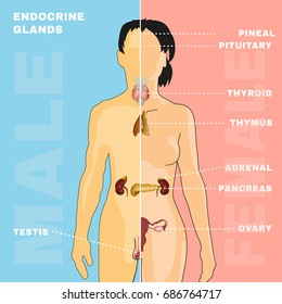 Female and male endocrine system. Human anatomy. Human silhouette with detailed internal organs. Vector illustration isolated on a pink and blue background.