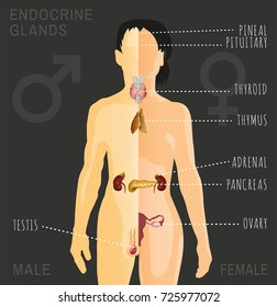 Female and Male endocrine system. Human comparative anatomy. Human silhouette with detailed internal organs. Vector illustration isolated on a dark grey background.