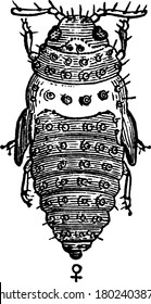 Female pupa of Phylloxera Vastatrix from above, vintage line drawing or engraving illustration.