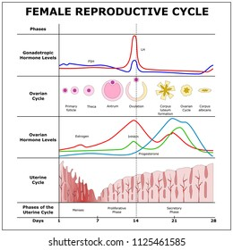 Female Reproductive Cycle,color vector scheme