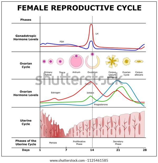 Female Reproductive Cyclecolor Vector Scheme Stock Vector