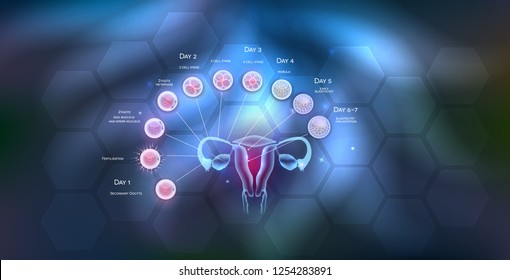 Female reproductive organs uterus and ovaries ovulation, fertilization by male sperm and cell development till blastocyst implantation.