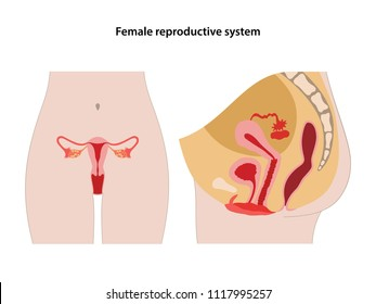 Female reproductive system. Anterior and lateral views. Vector illustration.