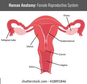 Female Reproductive Organs Diagram Images, Stock Photos & Vectors ...
