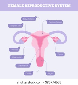 Female reproductive system flat vector info graphic. Human anatomy including fallopian tube Ovary Cervix Vagina and body of uterus with graphic element