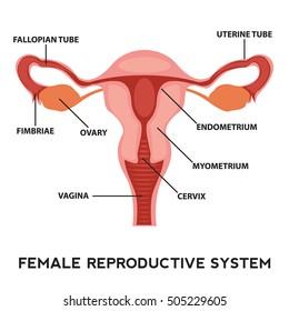Female reproductive system image diagram, vagina medical human Anatomy.