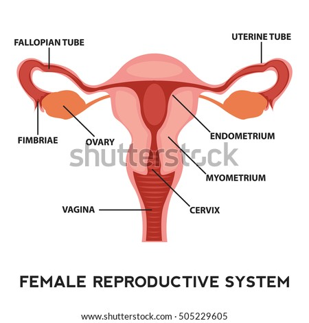 Female Reproductive System Image Diagram Vagina Stock Vector