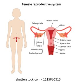 Female reproductive system with main parts labeled. Vector illustration.