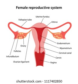 female reproductive system with main parts labeled  vector illustration