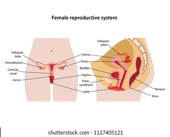 Female reproductive system with main parts labeled. Anterior and lateral views. Vector illustration.