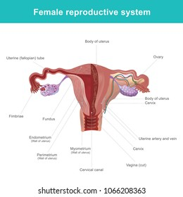 female reproductive system images stock photos vectors shutterstock Pasta Human Body Diagram the female reproductive system or female genital system contains two main parts the uterus