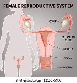female reproductive system, the uterus and ovaries scheme, phase of the menstrual cycle. Vector illustration
