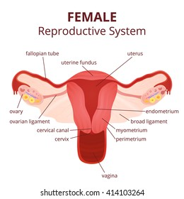 Female reproductive system images stock photos vectors shutterstock female reproductive system the uterus and ovaries scheme the phase of the menstrual cycle ccuart Gallery
