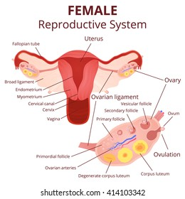 female reproductive system, the uterus and ovaries scheme, phase of the menstrual cycle