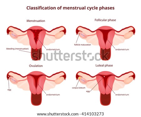Female Reproductive System Uterus Ovaries Scheme Stock Vector ...