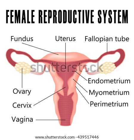Female Reproductive System Uterus Ovaries Scheme Stock Vector ...