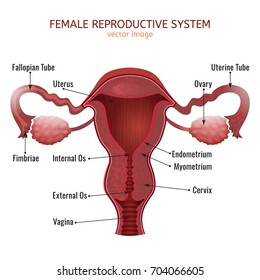 Female reproductive organs diagram images stock photos vectors female reproductive system women uterus cross section vector illustration isolated on a white background ccuart Images